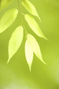 新緑のケヤキの葉の写真素材 [FYI04193523]