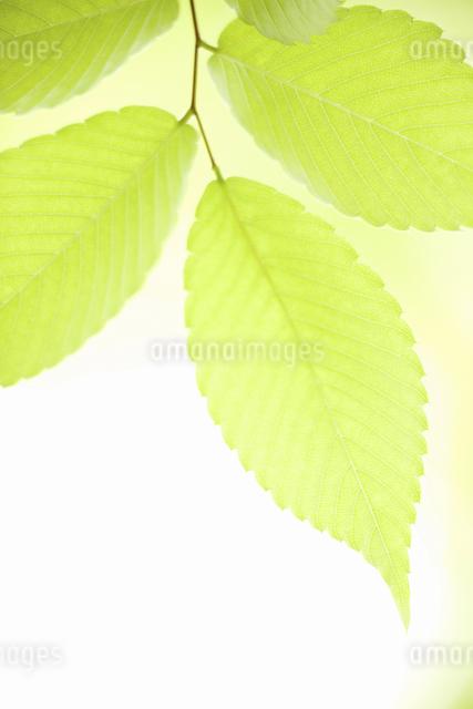 新緑のケヤキの葉の写真素材 [FYI04193536]