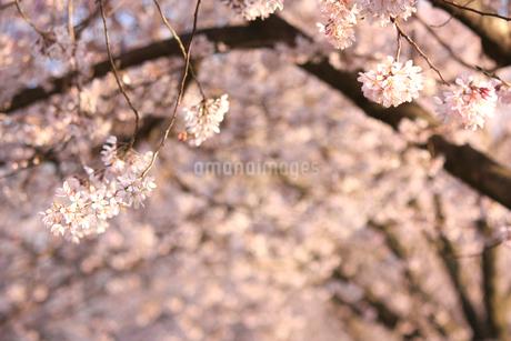 桜並木の写真素材 [FYI04193616]
