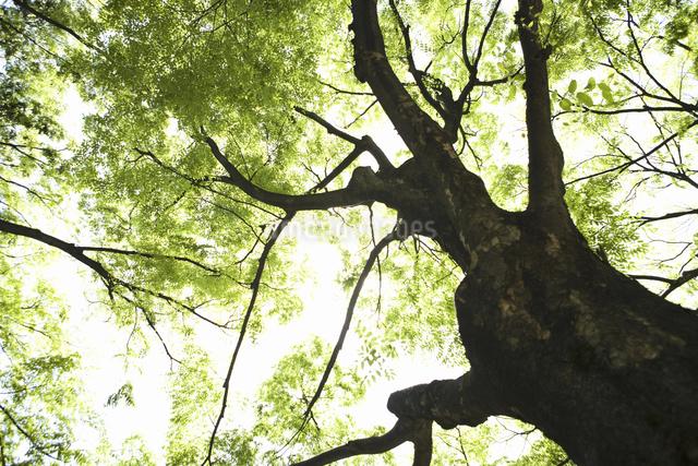新緑のケヤキの木の写真素材 [FYI04193722]