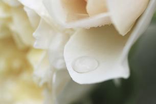 バラとしずくの写真素材 [FYI04194088]