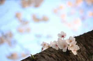 木の幹に咲く可憐な桜(エドヒガンザクラ)の写真素材 [FYI04195327]