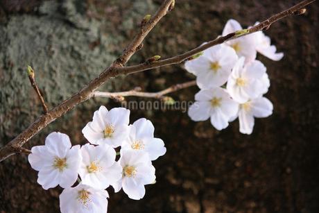 力強い幹をバックにした桜の花(エドヒガンザクラ)の写真素材 [FYI04195348]