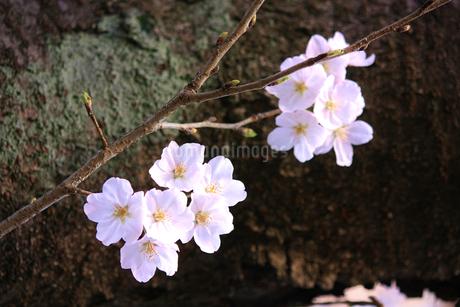 力強い幹をバックにした桜の花(エドヒガンザクラ)の写真素材 [FYI04195350]