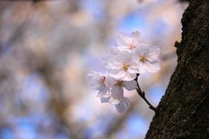 桜/エドヒガンザクラの写真素材 [FYI04195372]