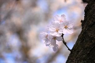 桜の花/エドヒガンザクラの写真素材 [FYI04195373]