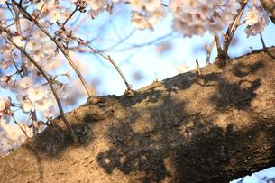 エドヒガンザクラ/花と幹に映る影の写真素材 [FYI04195428]