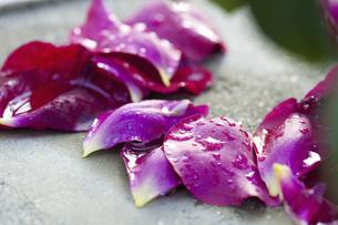 散ったバラの花びらの写真素材 [FYI04195556]