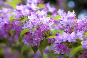 谷空木の花の写真素材 [FYI04195592]
