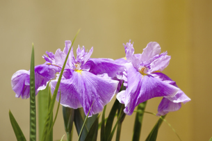 花菖蒲と金屏風の写真素材 [FYI04196025]