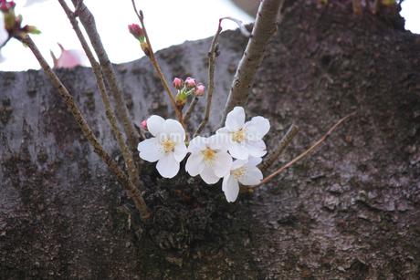 エドヒガンザクラ/幹に咲く花と蕾の写真素材 [FYI04196143]