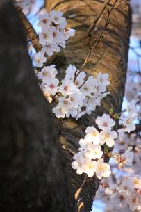 エドヒガンザクラ/逞しい幹と可憐な花の写真素材 [FYI04196209]