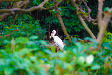 ペリカンのイメージ(シンガポール動物園)の写真素材 [FYI04197681]