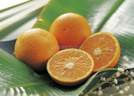 清見オレンジの写真素材 [FYI04200854]