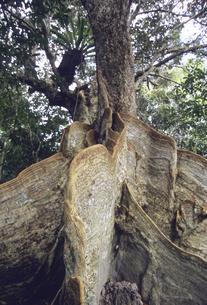 サキシマスオオノキの板根の写真素材 [FYI04201520]