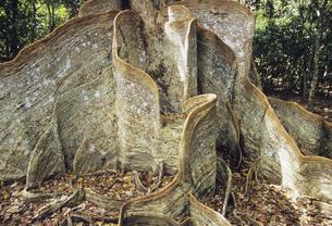 サキシマスオオノキの板根の写真素材 [FYI04201521]