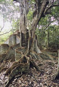 サキシマスオオノキの板根の写真素材 [FYI04201522]
