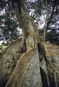 サキシマスオオノキの板根の写真素材 [FYI04201523]