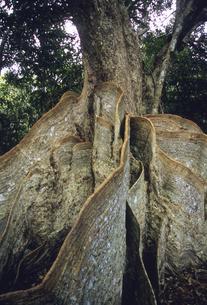 サキシマスオオノキの板根の写真素材 [FYI04201524]