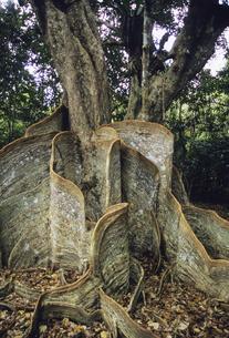 サキシマスオオノキの板根の写真素材 [FYI04201525]