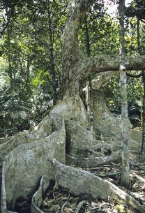 サキシマスオオノキの板根の写真素材 [FYI04201527]