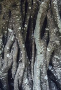 ガジュマルの根の写真素材 [FYI04201528]