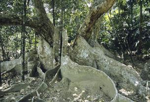 サキシマスオオノキの板根の写真素材 [FYI04201530]