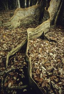 サキシマスオオノキの板根の写真素材 [FYI04201531]