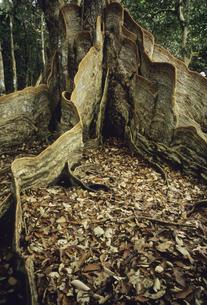 サキシマスオオノキの板根の写真素材 [FYI04201532]