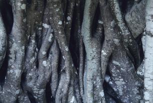 ガジュマルの根の写真素材 [FYI04201533]