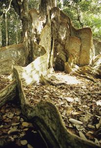 サキシマスオオノキの板根の写真素材 [FYI04201534]