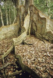 サキシマスオオノキの板根の写真素材 [FYI04201536]