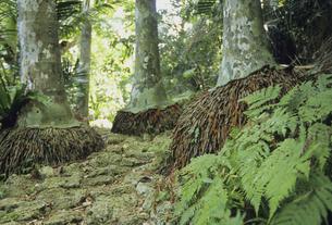 西表島の森の写真素材 [FYI04201544]