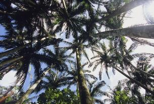 ヤシの木の森の写真素材 [FYI04201546]