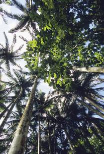 ヤシの木の森の写真素材 [FYI04201547]