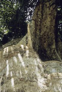 サキシマスオオノキの写真素材 [FYI04201566]