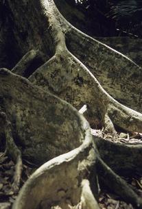 サキシマスオオノキの写真素材 [FYI04201572]
