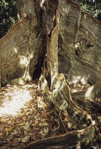 サキシマスオオノキの写真素材 [FYI04201574]