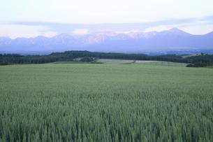 麦畑と夕焼けの十勝連山の写真素材 [FYI04203224]