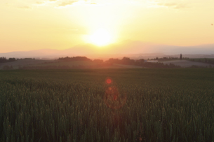 朝日昇る朝焼けの麦畑の写真素材 [FYI04203229]