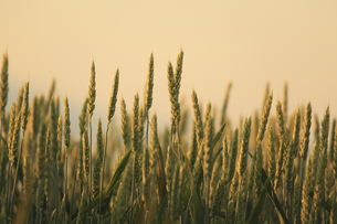 朝日昇る朝焼けの麦畑の写真素材 [FYI04203235]
