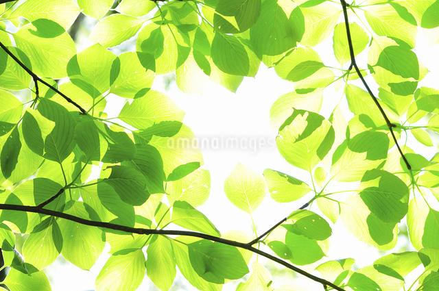 新緑の写真素材 [FYI04204266]