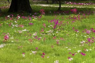 クリンソウ咲く奥日光の千手ヶ原の写真素材 [FYI04204944]