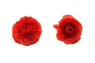 ラナンキュラスの花首の写真素材 [FYI04205325]
