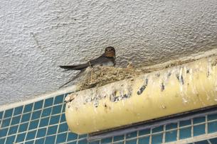 軒下のツバメの巣とツバメの写真素材 [FYI04206071]