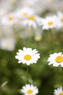 ノースポールの花の写真素材 [FYI04209450]
