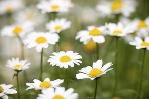 ノースポールの花の写真素材 [FYI04209452]