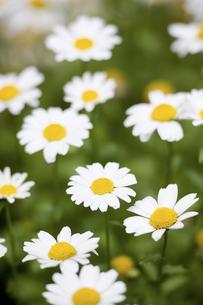 ノースポールの花の写真素材 [FYI04209453]