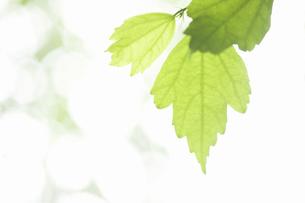 ムクゲの葉の写真素材 [FYI04209462]