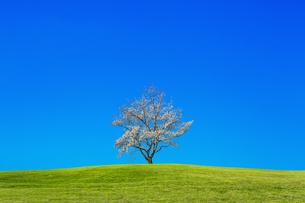 青空背景の緑地の丘に咲く1本の満開の桜の木。背景用素材の写真素材 [FYI04214628]